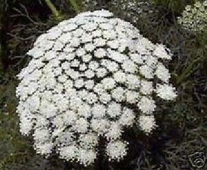 Jardin semences graines durant toute l&#039;année Plantes Exotique Cure-dent  </span>