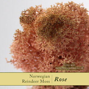 Dried-Reindeer-Moss-Rose-Perfect-for-air-plants-terrariums-amp-Crafts