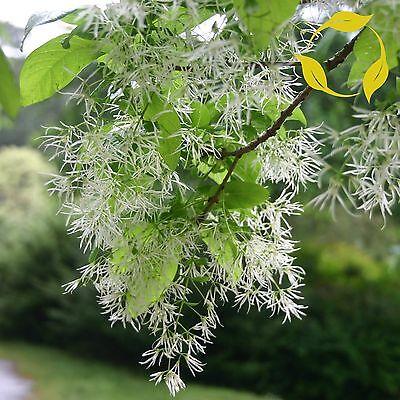 WHITE FRINGE TREE Chionanthus Virginicus 5 SEEDS