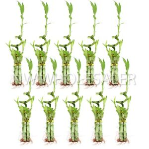 Details about NW Wholesaler - Lucky Bamboo 5 Stalk with Spiral - Bundle of  10 Arrangements