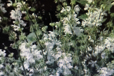Peperomia pellucida,Gemüsekraut#717 5 Samen Peperomie