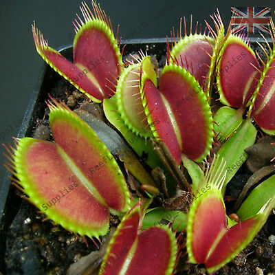 50 graines 2018 Vénus Fly Piège Fresh Plante Carnivore Dionaea Muscipula