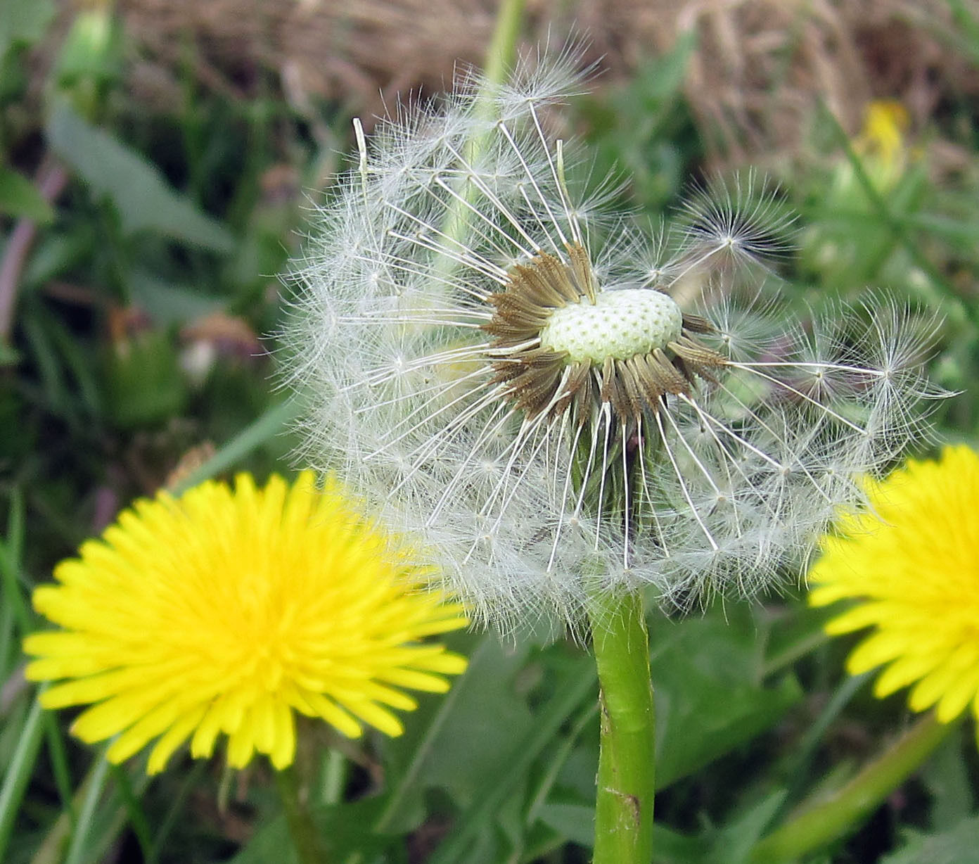 The 9-Second Trick For How Far Can Dandelion Seeds Travel