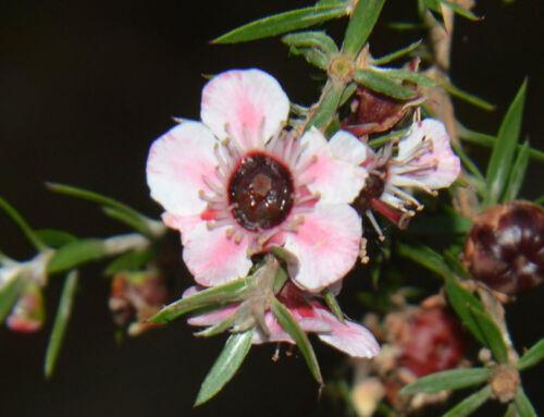 Leptospermum Ray Williams100/_Seeds