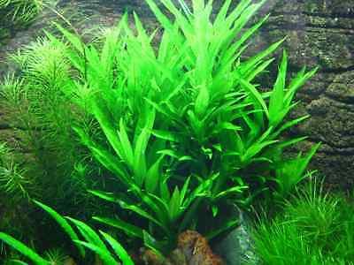 1 bouquet Hygrophila siamensis appellee aussi stricta bleu plante aquarium