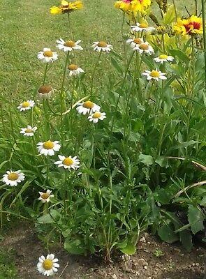 1 Jeune Plant Marguerite Commune - Plante Vivace