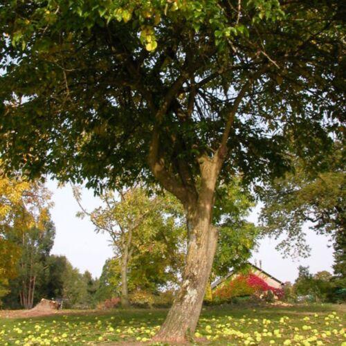 Oranger des Osages Maclura Pomifera 10,20 Graines