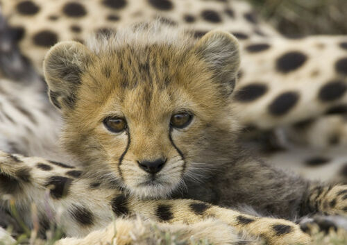Cheetah Cub Funny Beautiful Little Puppy Poster Sweet Cute Little Animal Picture
