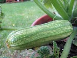 SQUASH-SEEDS-SQUASH-SUMMER-COCOZELLE-HEIRLOOM-ORGANIC-25-SEEDS-NON-GMO