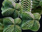 ( VERY RARE & Limited stock ) Crassula Buddha's Temple - Succulent Plant