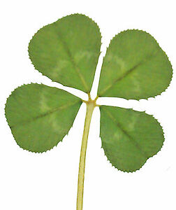 Genuine Real 4 Four Leaf Clover Wedding Favour With Certificate Of