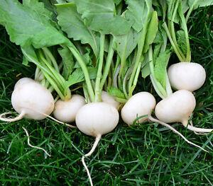 300 Seeds of Radish White Round Vegetable garden Vegetables Plants