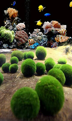 Nano Marimo x 5 pcs - Live Plant for Salt Water Aquarium Coral Sea Weed Rock A5