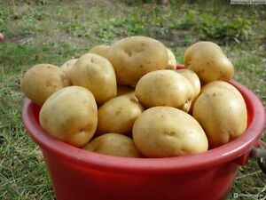 Analytique Potato Seeds Ballad Vegetable Seeds From Ukraine / Average Laissons Nos Produits Aller Au Monde