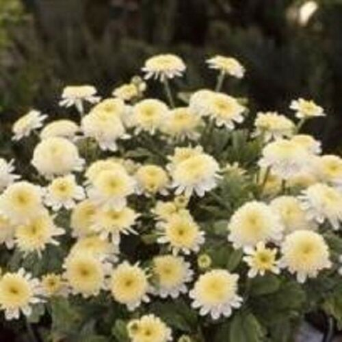 Chrysanthème Jaune-SANTANA 50 graines