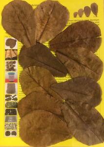10-Seemandelbaumblaetter-10cm-oder-auch-mehr-Nano-Catappa-Leaves-TOP-Qualitaet