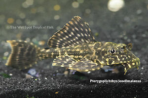 "(1) 2.5"" L001 Spotted Sailfin Pleco TR Pterygoplichthys joselimaianus Live Fresh"