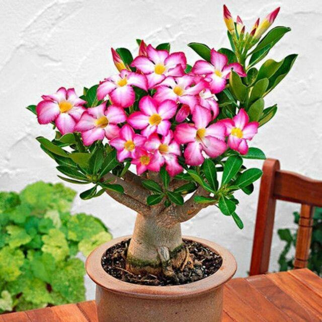 White Adenium Desert Rose with Orange edge Flower Seeds 2PCS Garden Exotic Bloom