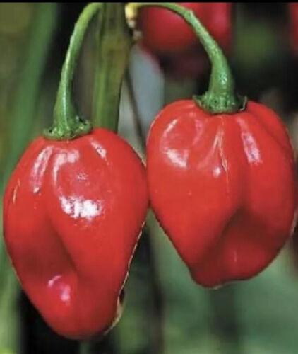 25 Seeds JAMAICAN RED HOT SCOTCH BONNET PEPPER Fire Hot USA Seller