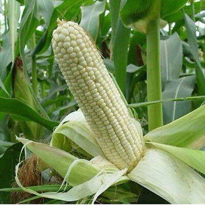Giant White Sweet Corn 7-Finest Seeds* Suitable For UK Weather //UK Seller*