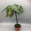 Begonia tamaya 9ø 35cm  house plant