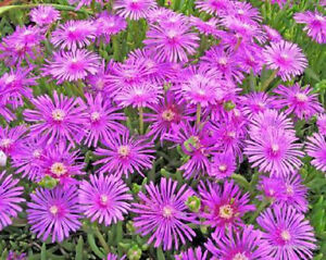 Delosperma-Cooperi-rare-mesembryanthemum-ice-plant-mesembs-semi-seed-50-SEEDS