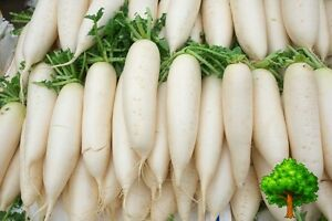 Image Is Loading Uncle Chan 500 Seed Giant White Radish Quality