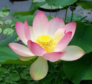 10-Samen-der-Indischen-Lotusblume-Nelumbo-nucifera-Weiss-Pink