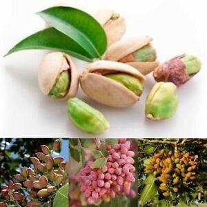 Nussbaum-Pistazien-Samen-Pistacia-Rare-Obstbaum-Samen-Tropische-Pflanze-Nus-U0G5