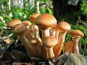 Armillaria ostoyae dry grain mycelium spawn seeds 10 g or 30 g