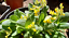 Cowslip-Wildflower-matured-1-2-years-in-medium-pot-Pick-up-only-Cardiff thumbnail 1