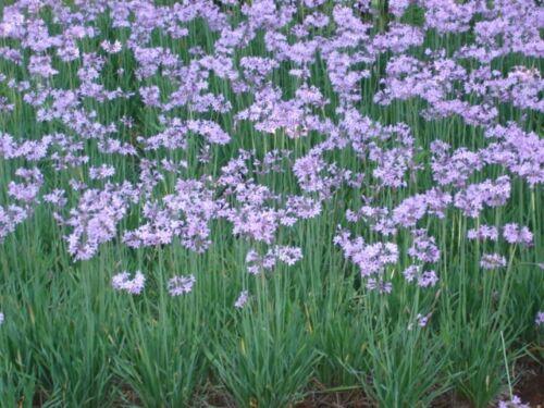 Wild Garlic fresh this seaon/'s harvest from my garden 20 seeds
