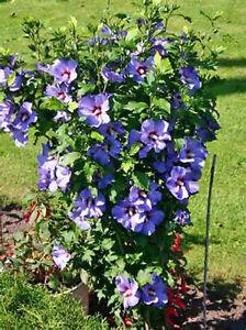 Hibiscus Syriacus Bluebird 10 Seeds Ebay