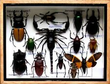 Real Insect Rare Insects Display Taxidermy Entomology Beetle in Box Collectible