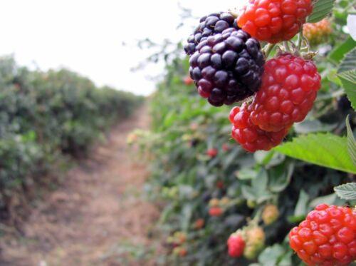 Graines 300 semillas Rubus ulmifolius Zarzamora Saatgut Semi