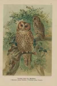 Original Waldkauz Strix Aluco Hibou Lithographie 1899 Ornithologie-afficher Le Titre D'origine Convient Aux Hommes Et Aux Femmes De Tous âGes En Toutes Saisons