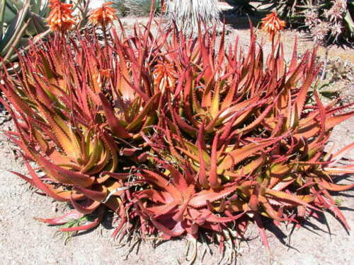 Herbal Succulent Plant Red Aloe Vera 40 Seeds Aloe Cameronii