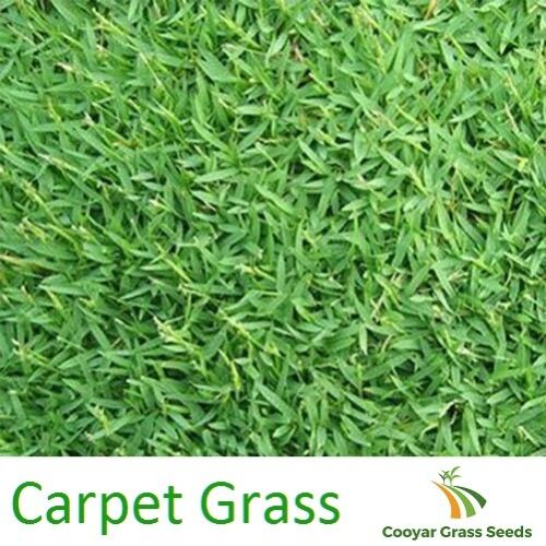 Carpet Grass Seed Pure 100% 3kg Lawn Seed
