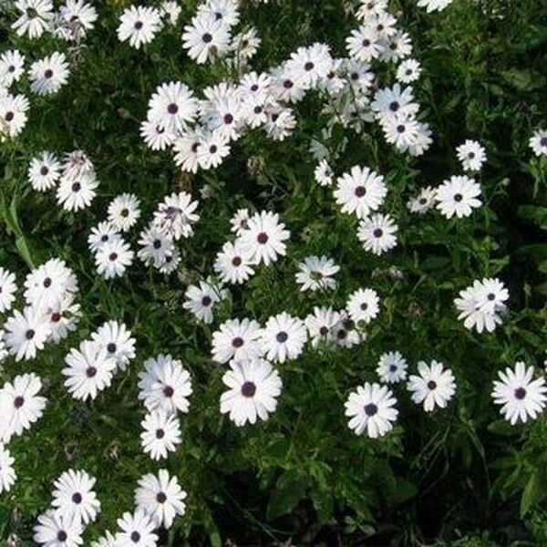 BOGO 50% off SALE White African Daisy 50 Seeds