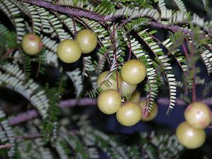 Grosella-de-la-India-Phyllanthus-Emblica-10-Semillas-Frura-rara-Jardin