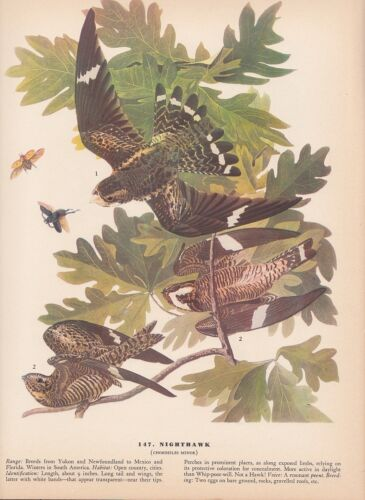 "1942 Vintage AUDUBON BIRDS #147 /""NIGHTHAWK/"" HUNTING Color Art Plate Lithograph"