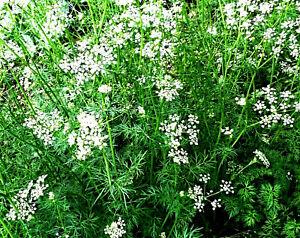 und Heilpflanze Kreuzkümmel Samen Gewürz Cuminum cyminum