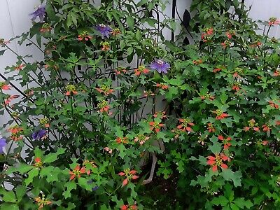 Wild Florida Poinsettia fresh this season/'s harvest from my garden 25 seeds