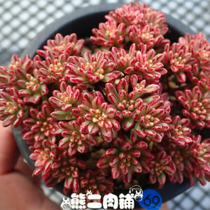 """Contemplative A Cluster Of Live Succulent """" Aeonium Sedifolius Variegated """" Real Plant To Enjoy High Reputation At Home And Abroad Fish & Aquariums"""