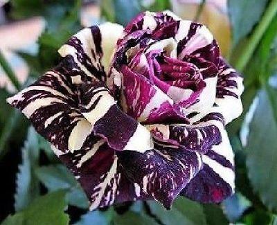Black Dragon Rose Seeds - Stunning Bicolor Blooms - Rose Bush - 10 Seeds