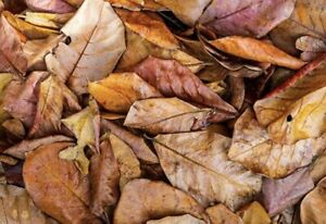 Indian-almond-leaves-Catappa-leaves-DRIED