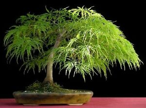 Lace-Leaf-Japanese-Maple-Acer-palmatum-dissectum-Tree-Seed-Fall-Color-Bonsai