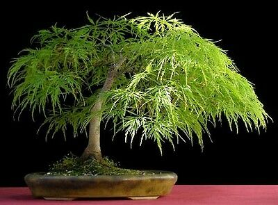 Lace Leaf Japanese Maple, Acer palmatum dissectum, Tree Seed (Fall Color, Bonsai