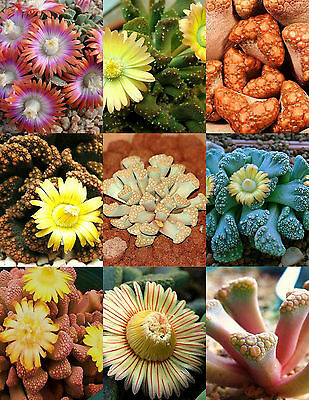 TITANOPSIS MIX, succulent cactus mixed living stones rocks plant seed  50 SEEDS