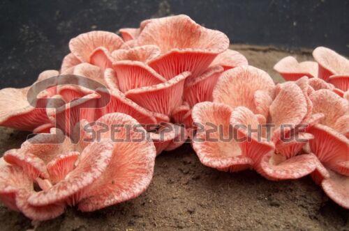 Impfdübel von Speisepilzzucht  Pilze Pilz Pilzzucht Shiitake Champignons Garten